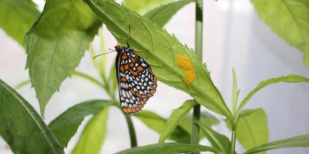 Euphydryas phaeton