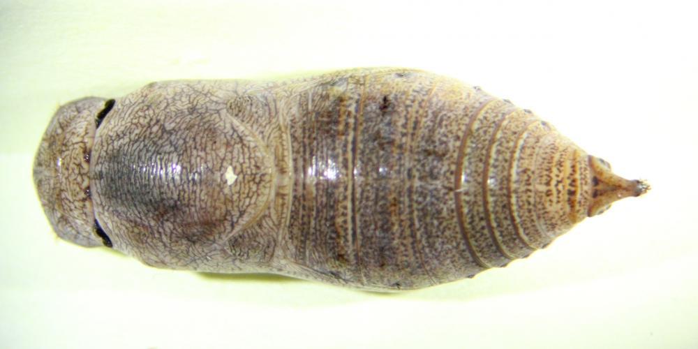 Epargyreus clarus